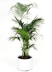 Inchiriere plante decorative